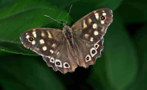 papillon Tircis photo macro Roger Meunier